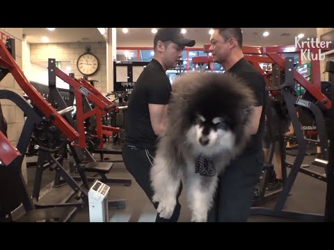 Dad Is A Gym Trainer But His Doggo Son Is Extremely Obese | Kritter Klub