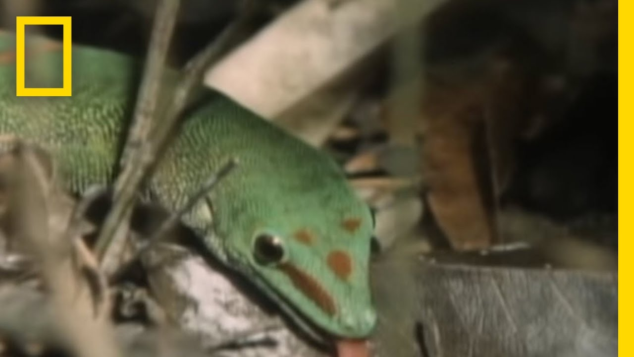 Meet the Ninja Gecko | National Geographic thumbnail