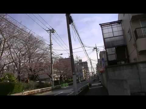 成増小学校 桜 2014年3月29日朝 まだ3分咲き?