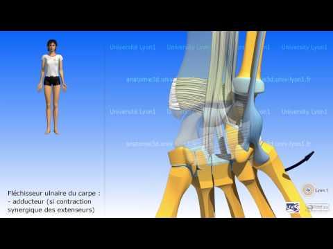 Les muscles levatory et les déprimants sur la personne