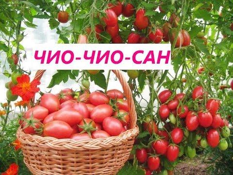 Этот томат никого не оставит равнодушным.