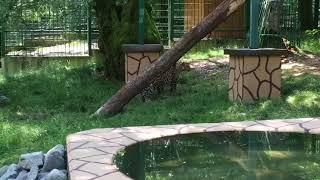 Леопарда по кличке Скиф привезли в Сочи