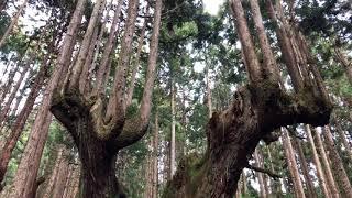 神宿る森岐阜県関市の「21世紀の森」の樹齢500年の杉株