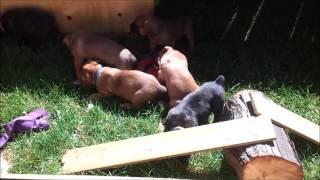 Nephin Kennels 5 week American Bandogge Mastiff's Playing