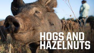 How pigs can save Oregon white oak trees and help Oregon hazelnut farmers