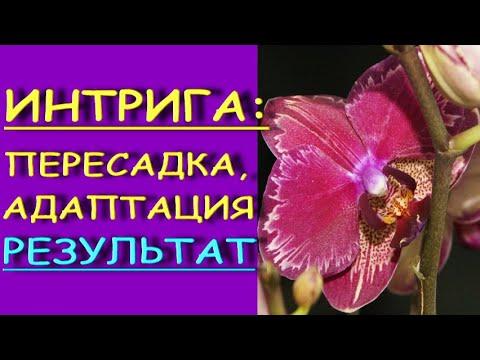 """Фаленопсис """"ИНТРИГА"""":большим корням-большой горшок!ПЕРЕСАДКА и РЕЗУЛЬТАТ.Орхидея phalaenopsis 'Miyo'"""