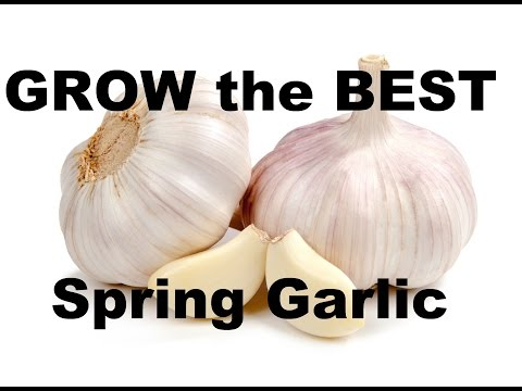 , title : 'Grow the BEST Spring Garlic With This Super Simple Method