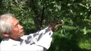 りんご摘果作業 2(成り枝更新剪定)