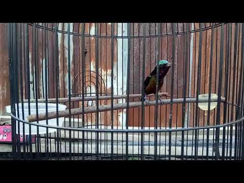 Kolibri Ninja gacor selampung