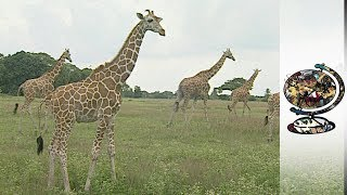 Recreating the African Savannah in the Philippines (2001)