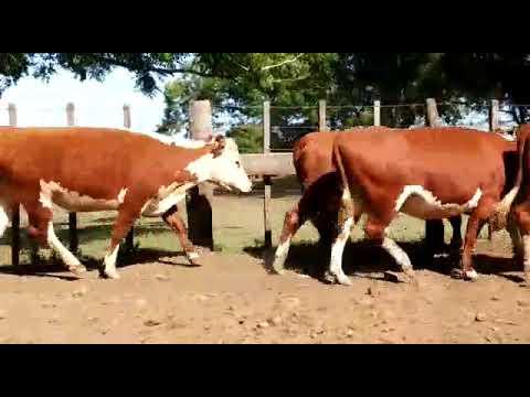 Afiche 60 Vacas preñadas  - Salto