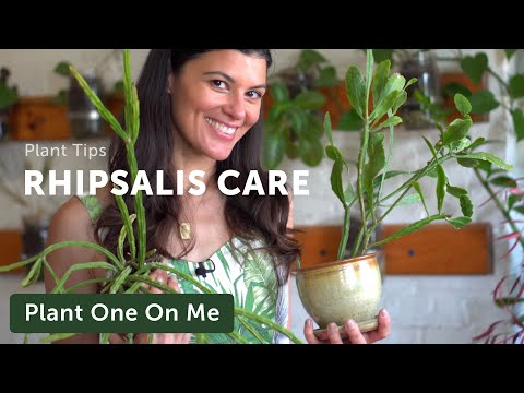Rhipsalis Care and Propagation — Plant One On Me — Ep 128
