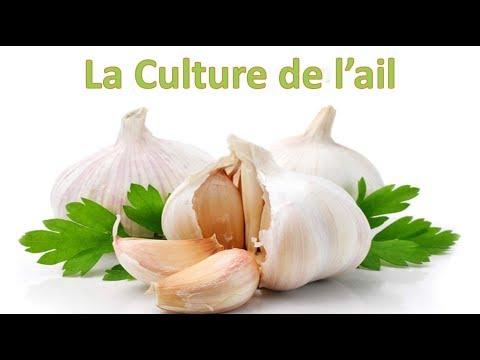 , title : 'L'ail : Culture, plantation, entretien, récolte et conservation