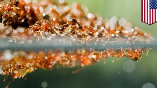 Fire ant rafts: Fire ant colonies have been making rafts to survive Hurricane Harvey - TomoNews