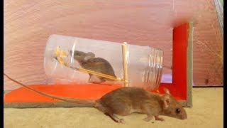 how to make a mouse trap out of a bottle easy free online videos