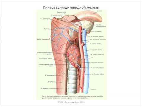 Щитовидная железа: топография, строение, функция, кровоснабжение, иннервация