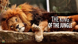 Why is the lion considered the king of the jungle?