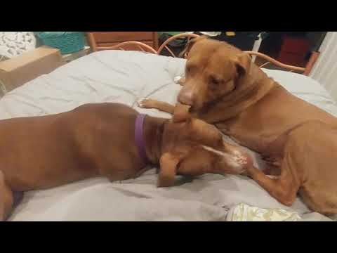 Shine, an adoptable Pit Bull Terrier & Terrier Mix in Phoenix, AZ_image-1
