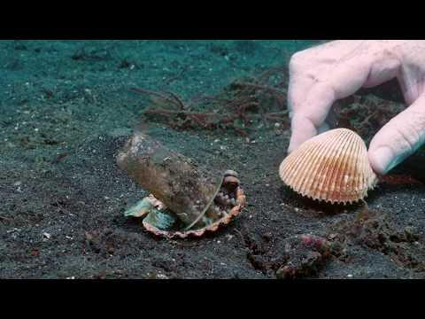 Divers offer shells to a meticulous octopus and convince it to give up it's plastic cup armor.