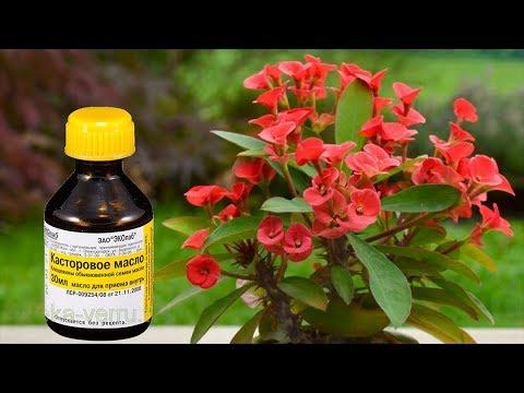 Касторовое масло для пышного цветения растений!  Способы применения!