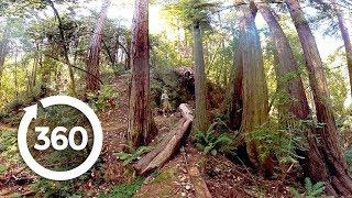 Redwoods: Walk Among Giants (360 Video)