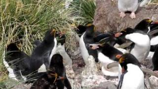 Macaroni penguin ecstatic display