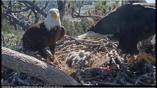 Big Bear Eagles ~ Shadow & His Sticks!! Puts On Top Of Babies! Alert Vocals! 4.30.19