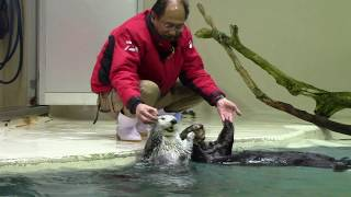 Sea Otter Training at Toba Aquarium (1/28/18)
