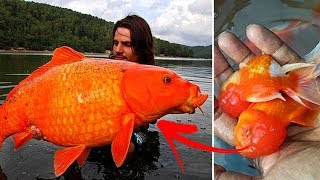 Why You Should Never Release Your Pet Goldfish Into The Wild Or Flush Them Down The Toilet