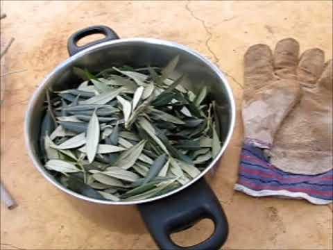 תמצית עלי זית - תה חם ומרק חם: לחזק את המערכת החיסונית / חלק ט'