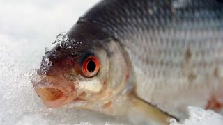 Плотва ловля зимой на безмотылку