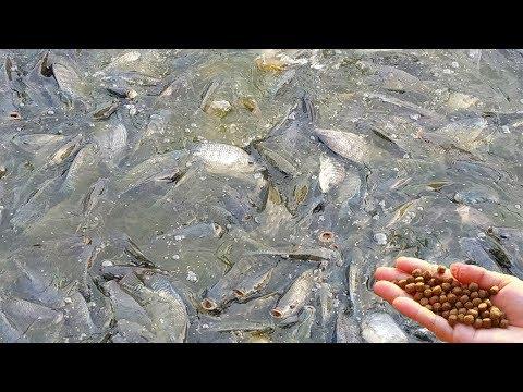 Download Small Tilapia Fish Pond Farming Fishing Videos Video 3GP