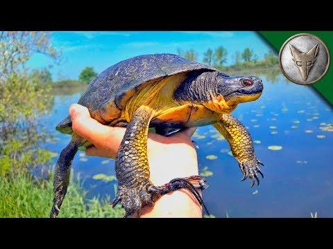VERY RARE Island Turtle Found!