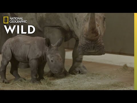 Baby Rhino Gender Reveal | Secrets of the Zoo