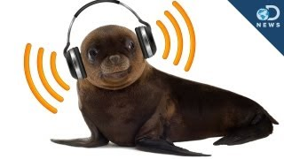 Sea Lions Can Keep A Beat