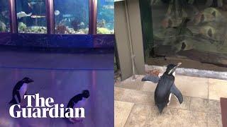 Penguins openly explore aquarium closed due to coronavirus