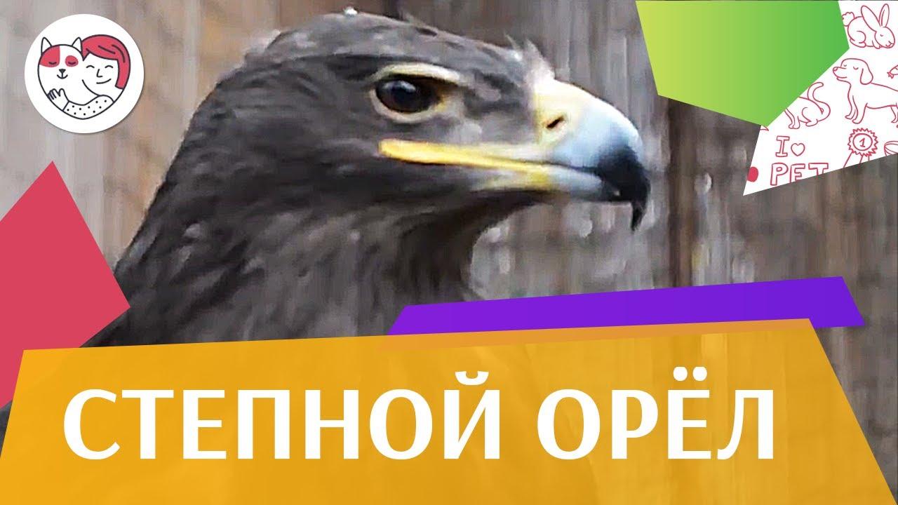 Степной орёл Описание на ilikepet