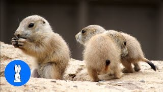 Prairie Dogs Playing - CUTEST Compilation