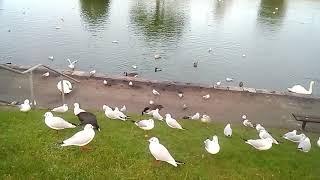 Чайки... Чайки... Чаечки. Мифы и реальность # Часть 1