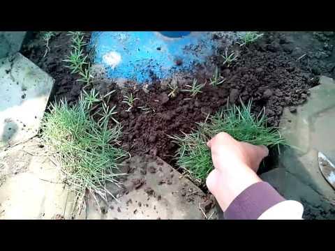 Video Cara Menanam Rumput