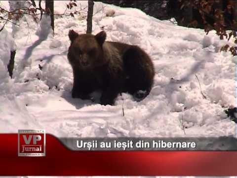 Urșii au ieșit din hibernare