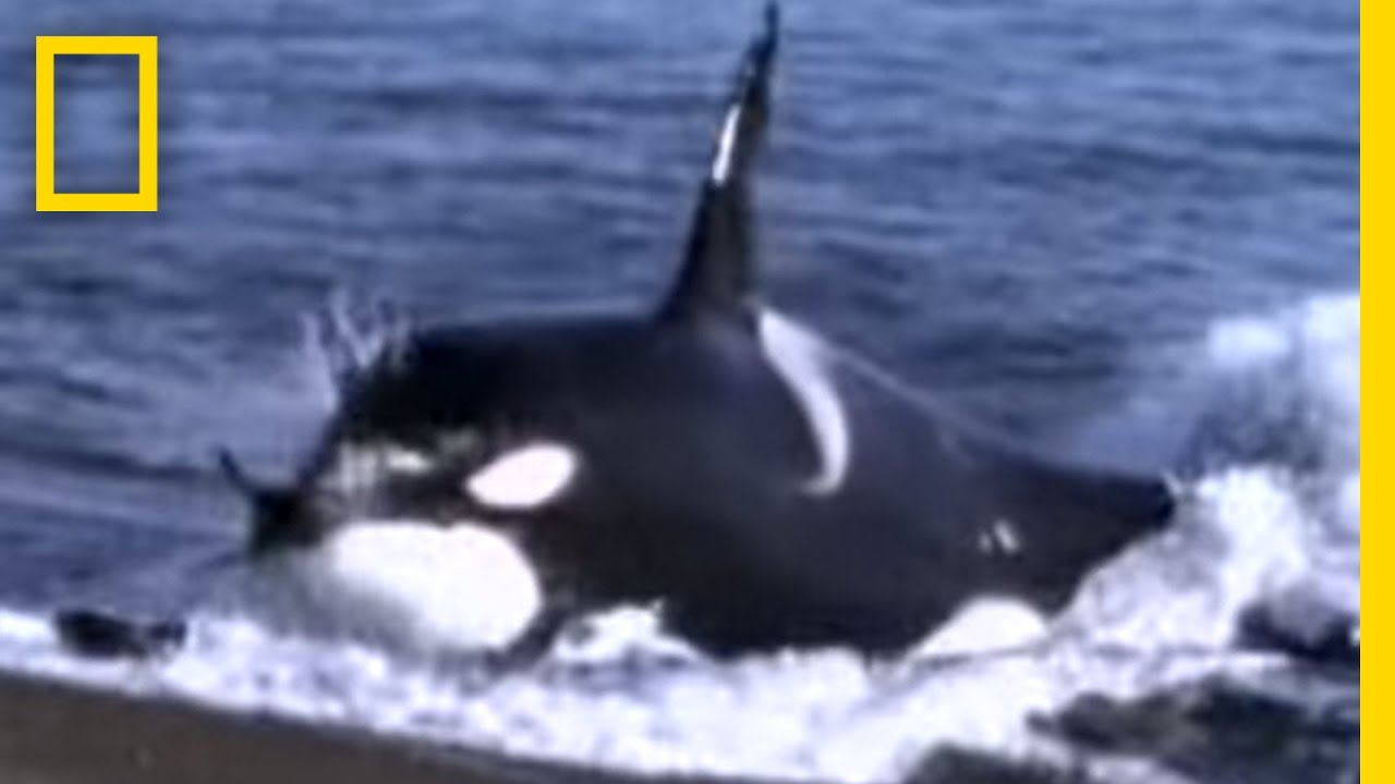 Killer Whale vs. Sea Lions   National Geographic thumbnail