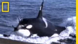 Killer Whale - Hunting Sea Lion