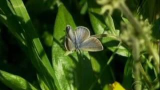 Extinct Butterfly Returns?