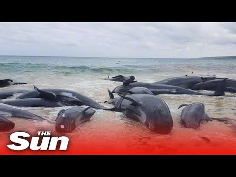 В Австралії загинули сотні дельфінів,викинувшись на берег