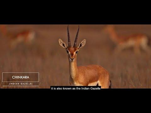 Chinkara смотреть онлайн видео в отличном качестве и без