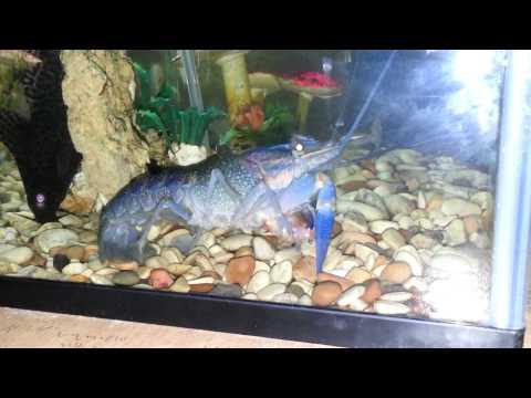 Video Lobster Makan Ikan