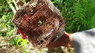 Cậu cháu thăm bẫy rắn lạc vào rừng cam. Hái trộm cam luôn | Săn bắt SÓC TRĂNG |