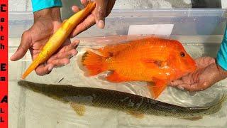 RAREST HYBRID FISH Breed CAPTURED in FLORIDA!