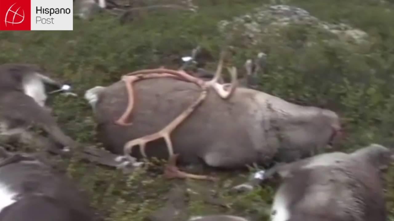 323 renos muertos en Noruega que fueron impactados por un rayo
